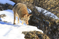 Coyote hunting during the winter Stock Photography