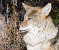 Coyote hunting in Yellowstone National Stock Photos