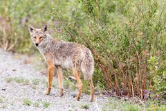 Free Coyote In The Yukon Territory, Canada Stock Photography - 215174782