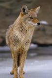 Coyote in inverno Immagini Stock