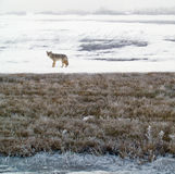 Coyote in inverno Immagine Stock