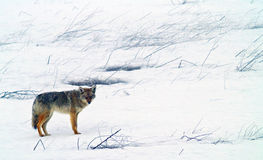 Coyote in inverno Fotografie Stock