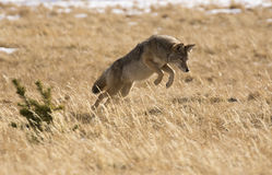 Coyote jumping in grass field for vole or mouse Stock Photography