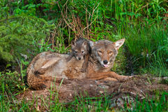 Coyote (lantrans del Canis) con la lengua hacia fuera y el perrito Fotos de archivo libres de regalías