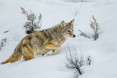 Coyote. Large Adult Coyote Trudging Through Deep Snow Stock Photography