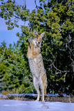 Coyote, latrans de Canis Images libres de droits
