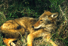 Coyote in Laying in Grass Stock Images