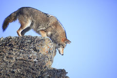 Coyote on a ledge. A male coyote looking over rock cliff for prey Royalty Free Stock Photo