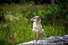 Coyote Listening Royalty Free Stock Photos