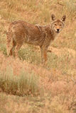 Coyote Looking Back Stock Image