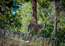 Coyote Looking Back. Shot in Jasper National Park Stock Photo