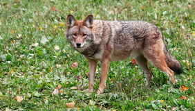 Coyote Looking at the Camera Stock Photography