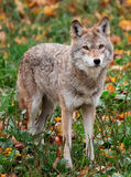 Coyote Looking at the Camera Royalty Free Stock Photography