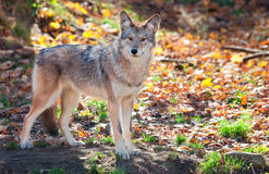 Coyote Looking at the Camera Stock Photos