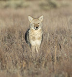Coyote looking directly at viewer in sagebrush and grass in fiel Royalty Free Stock Photos
