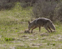 Coyote Looking for Food Stock Photography