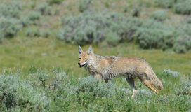 Coyote looking for food in Yellowstone National Park. Royalty Free Stock Photo