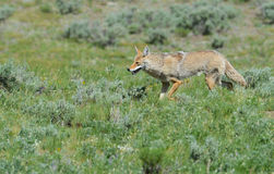 Coyote looking for food in Yellowstone National Park. Stock Photos