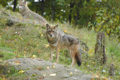 Coyote lookout Royalty Free Stock Image