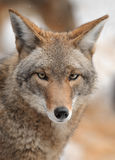 Coyote Looks forward Royalty Free Stock Photo