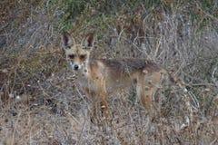 Coyote, lupo della steppa, lupo di prateria, Israele immagine stock libera da diritti