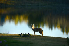 Coyote and Magpie Royalty Free Stock Photography