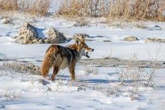 Coyote mangeant la souris 2 Images libres de droits