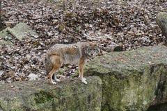 Coyote me regardant images libres de droits