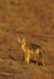 Coyote in Meadow Stock Images