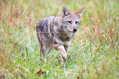 Coyote in a meadow Stock Image
