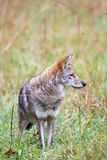 Coyote in a meadow Stock Photos