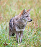 Coyote in a meadow Royalty Free Stock Photos