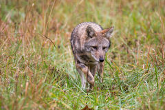 Coyote in a meadow Royalty Free Stock Photo