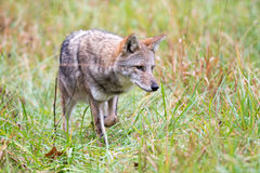 Coyote in a meadow Royalty Free Stock Image