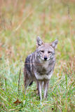 Coyote in a meadow Stock Photo