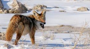 Coyote met muis 2 stock foto's