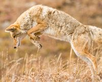 Coyote in mid-pounce stock photography