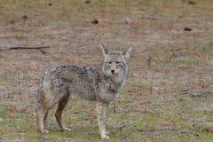 Coyote mojado en el salvaje Fotos de archivo