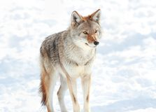 Coyote in snow Stock Images