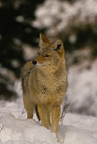 Coyote in neve Fotografie Stock