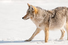 Coyote in neve - parco nazionale di Yellowstone fotografie stock libere da diritti