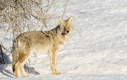 Coyote next to shrub with white snow meadow in winter Royalty Free Stock Image