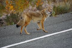 Coyote in north America royalty free stock photography