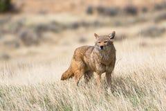Coyote op zoek naar voedsel stock foto's
