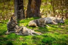 Coyote Pack Resting and Sleeping in Forest Stock Image