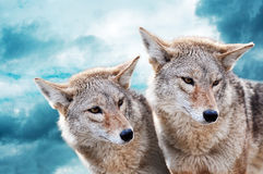 Coyote pair. Against the blue winter sky. Animals in the wild Royalty Free Stock Photography