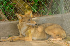 Coyote in Panama. Wild light colored coyote in Panama, in town from the mountain grassland Stock Photo