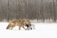 Coyote With Pheasant. On Snow Royalty Free Stock Photography