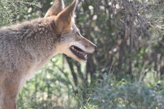 COYOTE. This is a picture of a little coyote taken at the Arizona Sonora Desert Museum in Tucson, Arizona. Coyotes are located all around Arizona Stock Photos