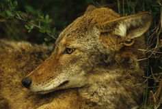 Coyote Portrait. A portrait of a bedded coyote Royalty Free Stock Photo